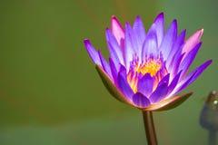 Um Lotus roxo no banho o sol da manhã Foto de Stock