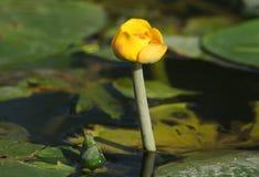 Um lutea consideravelmente amarelo do Nuphar da água-lilly uma planta selvagem que cresce em um córrego no Reino Unido foto de stock royalty free