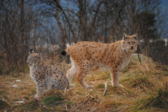 Um lynxmother com seu bebê Fotografia de Stock
