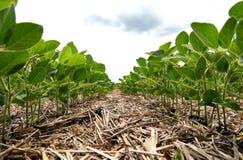 Um método inovativo de crescer o trigo da grão, feijões de soja, milho han fotos de stock