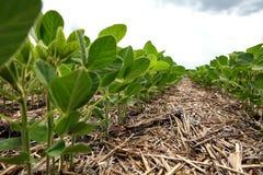 Um método inovativo de crescer o trigo da grão, feijões de soja, milho han imagem de stock royalty free