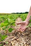 Um método inovativo de crescer o trigo da grão, feijões de soja, milho han foto de stock