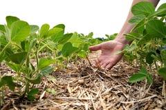 Um método inovativo de crescer o trigo da grão, feijões de soja, milho han imagem de stock