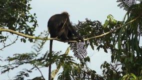 Um macaco acima crescido de Rhesis que equilibra em um ramo video estoque