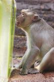 Um macaco aprecia um deleite do gelo no bufete anual Festiva do macaco foto de stock
