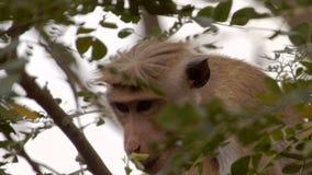 Um macaco asiático selvagem que boceja em uma árvore video estoque