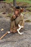 Um macaco bonito que come o pão e que guarda uma vara de madeira para proteger-se imagem de stock royalty free