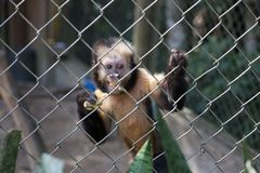 Um macaco com uma banana fotos de stock royalty free