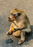 Um macaco come um ovo Imagem de Stock