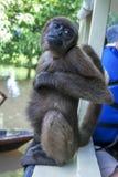 Um macaco de aranha felpudo senta-se no lado de um barco acima da ilha inundada do macaco perto de Iquitos no Peru fotos de stock