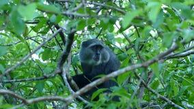 Um macaco de colobus vermelho curioso vídeos de arquivo