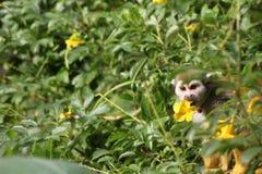 Um macaco de esquilo come a flor amarela de uma flor Imagem de Stock Royalty Free