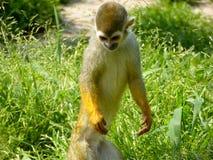Um macaco de esquilo que está na grama Fotografia de Stock Royalty Free