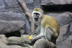 Um macaco de Macaque selvagem que senta-se e que come no quintal imagem de stock