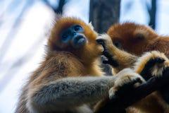 Um macaco de nariz arrebitado dourado novo aprecia preparar de um outro imagem de stock