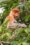 Um macaco de probóscide da mãe Fotografia de Stock Royalty Free