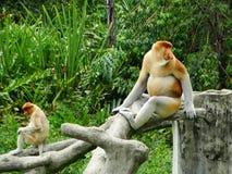 Um macaco de probóscide raro nos manguezais da baía de Labuk fotos de stock