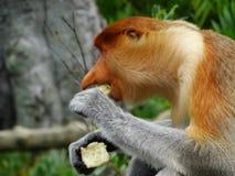 Um macaco de probóscide raro nos manguezais da baía de Labuk Foto de Stock