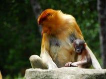 Um macaco de probóscide raro nos manguezais da baía de Labuk imagem de stock