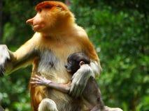 Um macaco de probóscide raro nos manguezais da baía de Labuk fotografia de stock royalty free