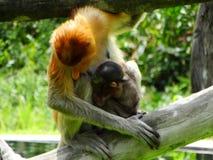 Um macaco de probóscide raro nos manguezais da baía de Labuk imagem de stock royalty free
