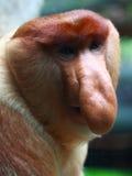 Um macaco de Proboscis masculino (Bekantan) fotos de stock royalty free