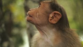 Um macaco de Rhesis na Índia que mastiga e que risca video estoque