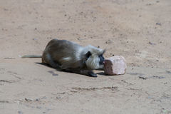Um macaco do hanuman do aur do langoor Fotografia de Stock