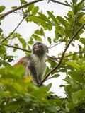 Um macaco do homem adulto do Zanzibar, Colobus vermelho imagens de stock royalty free