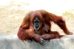 Um macaco do orangotango em um jardim zoológico foto de stock royalty free