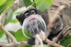 Um macaco do tamarin Fotografia de Stock Royalty Free