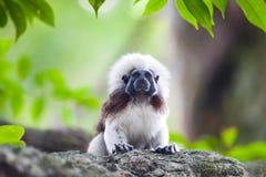Um macaco do Tamarin da Algodão-parte superior em uma refeição matinal da árvore Imagem de Stock