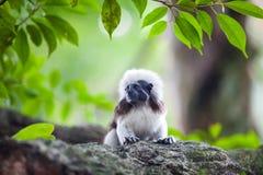 Um macaco do Tamarin da Algodão-parte superior em uma refeição matinal da árvore Fotografia de Stock