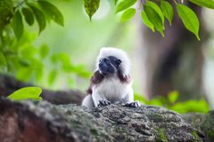 Um macaco do Tamarin da Algodão-parte superior em uma refeição matinal da árvore Imagem de Stock Royalty Free