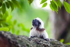 Um macaco do Tamarin da Algodão-parte superior em uma refeição matinal da árvore Foto de Stock Royalty Free
