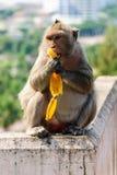Um macaco está comendo uma banana Imagens de Stock