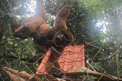 Um macaco felpudo mantido no captiveiro que pendura no cerco fotos de stock royalty free