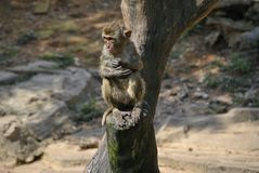 Um macaco molhado bonito que senta-se em um log Imagens de Stock Royalty Free