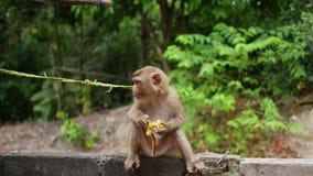 Um macaco no parque senta e come bananas Phangan, Tailândia video estoque