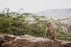 Um macaco no templo do macaco em Jaipur, Índia imagem de stock royalty free