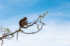 Um macaco nos ramos Imagens de Stock Royalty Free