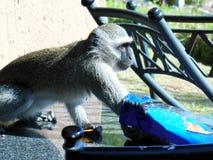 Um macaco pequeno come microplaquetas na tabela Imagem de Stock Royalty Free