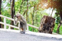 Um macaco que anda na estrada era de confusão e suspeito como foi perdido faça-o olhar engraçado imagens de stock royalty free