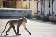 Um macaco que anda na rua da cidade foto de stock