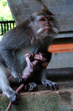 Um Macaque de cauda longa fêmea, ou caranguejo que come o Macaque, fascicularis do Macaca, guardando seu bebê Imagem de Stock Royalty Free