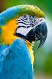 Um macaw colorido no selvagem Fotos de Stock Royalty Free