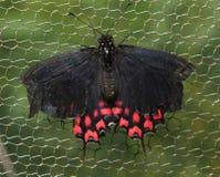Um macro da borboleta de Montezuma fotos de stock