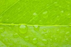 Um macro da foto do verde da folha Fotografia de Stock Royalty Free