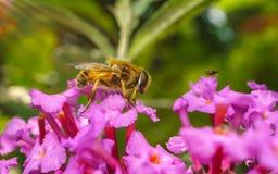 Um macro de um Hoverfly em uma flor roxa Fotos de Stock Royalty Free