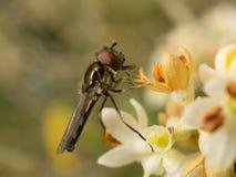 Um macro de um Hoverfly na flor verde-oliva Imagem de Stock Royalty Free